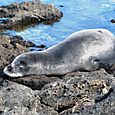 Kaena seal mother