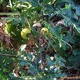 Apple of Sodom Plant