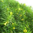 Be-Still Tree - Yellow Oleander