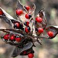 Black-Eyed Susan - Crab Eye (Abrus Precatorius) Seeds
