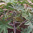 Caster Bean Plant (Ricinus Communis)