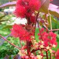 Caster Bean Plant (Ricinus Communis) Flower
