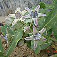 Crown Flower (Calotropis Gigantea)