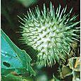 Jimson Weed (Datura Stramonium) Seed
