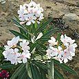 Oleander (`OLIWA)