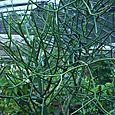 Pencil Plant (Euphorbia Tirucalli)