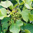 Physic Nut (Jatropha Curcas) Flower