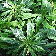 Star of Bethlehem (Hippobroma Longiflora)